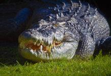 Krokodil Gustav