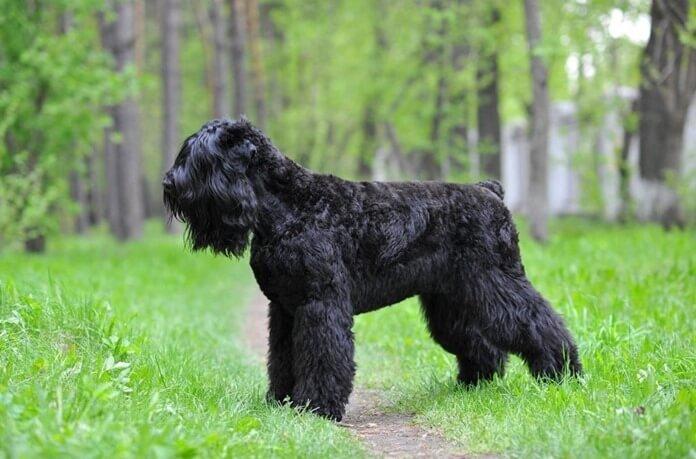 Fekete orosz terrier