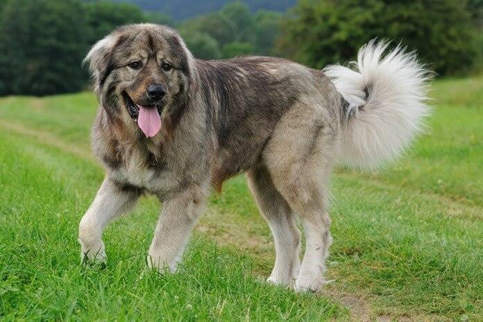 A kaukázusi juhászkutya a legjobb őrző fajta